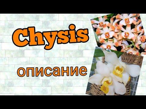 Chysis...Xизис... описание  вида орхидеи.