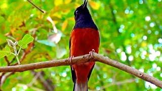 Repeat youtube video กางเขนดงป่า Wild Shama