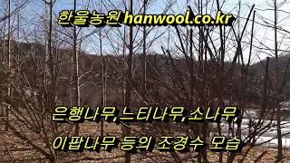 조경수 은행나무,느티나무소나무,이팝나무 등