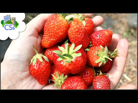 5 Reasons To Grow Strawberries In The Poly-tunnel, NOT Outside.