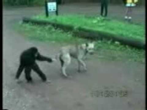 Monkey and Dog fight