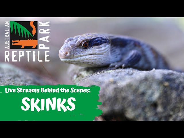 LEARN ABOUT SKINKS (LIZARDS) - (LIVE FOOTAGE) | AUSTRALIAN REPTILE PARK