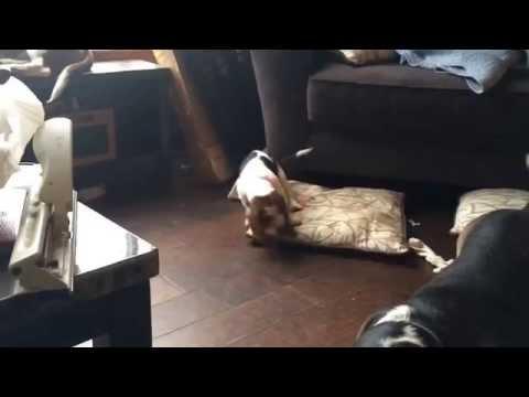 Basset Hound -  Josephine and the puppies (Dawn C Wass)