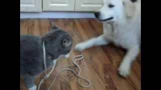 Золотистый ретривер нападает на кота