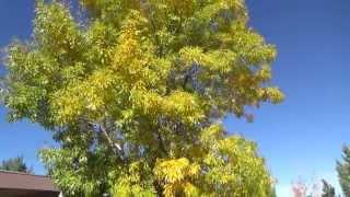 Arizona Ash in fall color - Fraxinus velutina