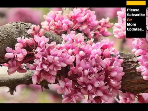 Redbud Tree With Flowers | Cercis Canadensis