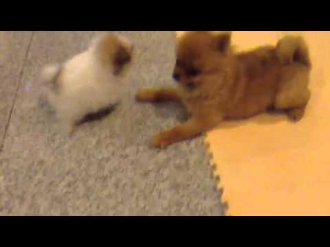 5 Weeks Old Pomeranian Puppies Play With Adult Female Dog Not Their