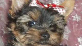 Female Yorkshire Terrier For Sale