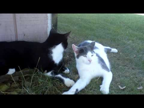crazy cats fighting!