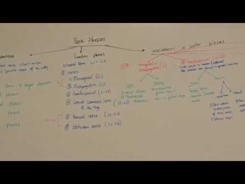 MGA Lecture 1 Part 2 - Lumbar plexus and Femoral Triangle
