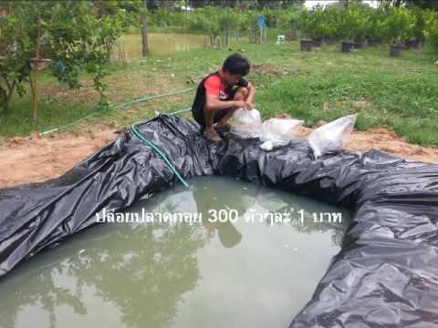 การเลี้ยงปลาดุกอุย สวนมะนาวชัยเจริญ