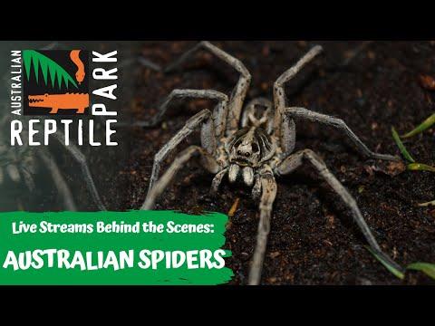 AUSTRALIAN SPIDERS (LIVE FOOTAGE) | AUSTRALIAN REPTILE PARK