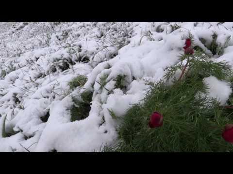 Цветы в снегу Симферополь засыпало апрельским снегом