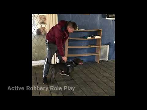 """Staffordshire Bull Terrier """"Active Home Invasion"""" Role Play www.ddrguarddogs.com"""