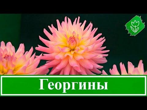 Георгины – посадка, уход и хранение, выращивание георгинов в саду
