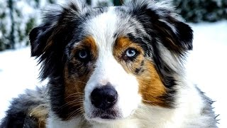 Колли, Австралийская овчарка, Бордер колли. Породы собак(Collie, Australian Shepherd, Border Collie. Это видео создано в редакторе слайд-шоу YouTube: http://www.youtube.com/upload., 2015-10-30T16:56:37.000Z)