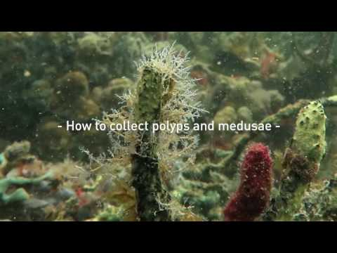 How To Collect Polyps And Medusae