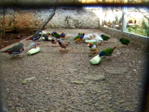 pajaros exoticos. Tricolores, papagayos, enmascarados, goulds, mandarines, moteados, isabelitas... Travel Video