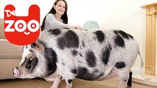 Die Wahrheit über Minischweine!