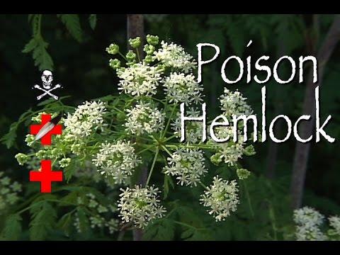 Poison Hemlock: Poison & Medicinal