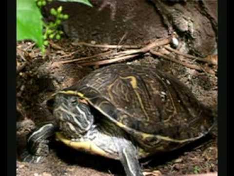 Deposizione di due uova della mia tartaruga di acqua dolce for Tartarughe di acqua dolce