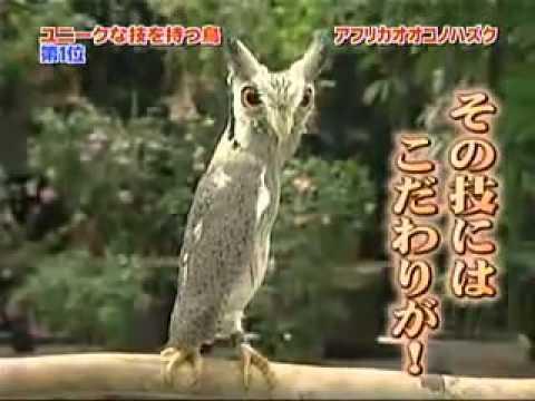 Хитрющая сова Очень смешное и веселое видео. Просто ржач.