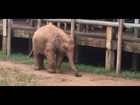 baby elephant trying to figure out how to wear sandals youtube