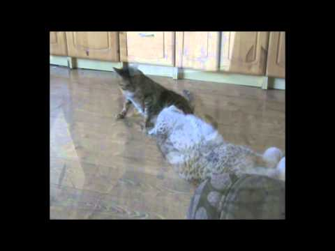 Lynx and cat playing