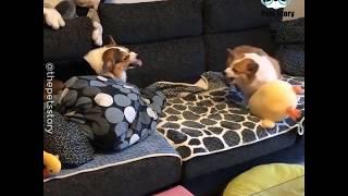 Bully Pets                                        Dog Reviews Food With Husky | Tucker Taste Test 17