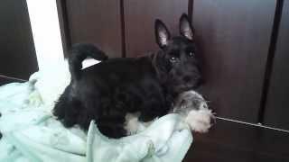 """ブリーダーハウスの取扱犬種の紹介の動画です。 スコッチ・テリアの""""う..."""