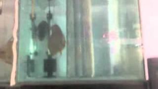 www.aquafishseller.com DISCUS FISH (HATCHERY) BREEDER IN PUNE, MUMBAI, INDIA.