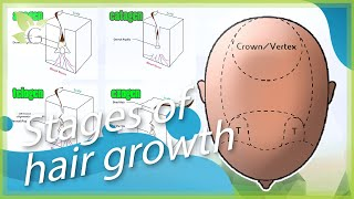 The Growth Behavior of Hair - Stages of Hair Growth (Part 2/4) Thumbnail