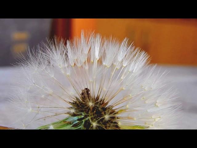 Dandelion Insects Spring /Tavaszi hancúrozás Pitypang Rovarok