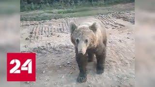 Медведь напал на машину собравшихся покормить его людей. Видео - Россия 24