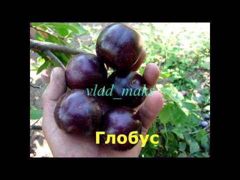 Русская слива или гибридная алыча фото сорта и уход