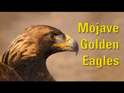 Mojave Golden Eagles