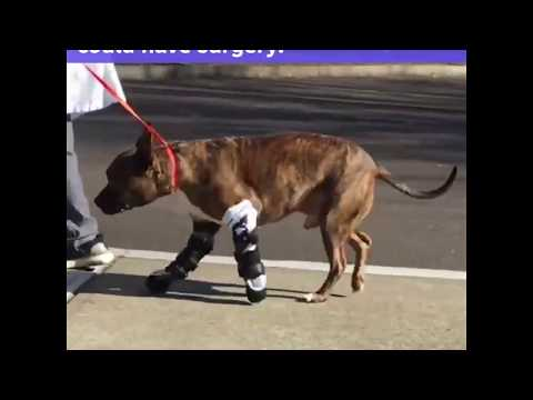 Canine with birth-defected paws walks with prosthetics