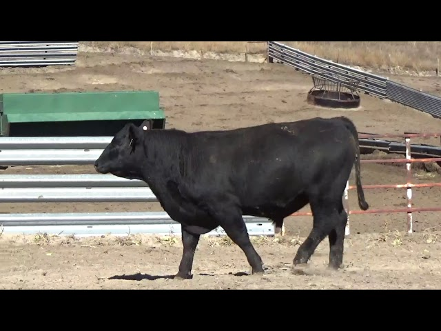 Connealy Angus Lot 191
