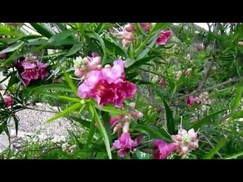 "Desert Willow (Chilopsis Linearis) , Lisa's Landscape & Design ""Plant Pick Of The Day"", Lisa LaPaso"