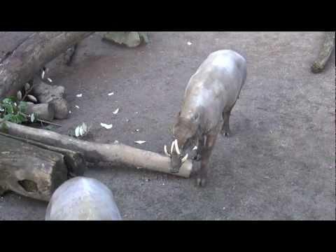 Babirusa, Pig - Portland Oregon Zoo