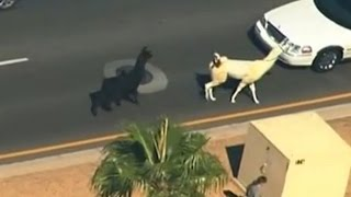 two llama s go on the run after escaping the zoo