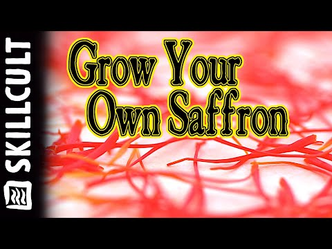 How I Grow The Worlds Most Expensive Spice at Home, Saffron Crocus, More Than Gold