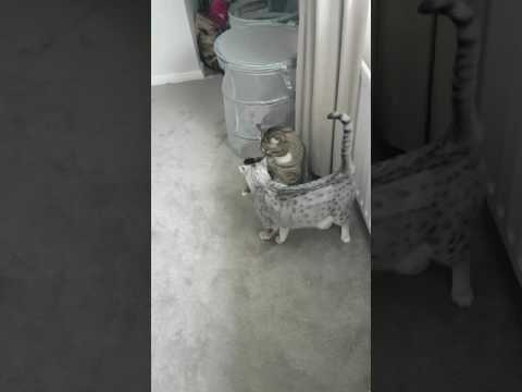 Oscy the Egyptian Mau cat annoying his brother Harry