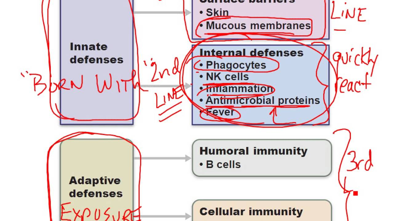 Chapter 21- Immune System Part 1 - YouTube