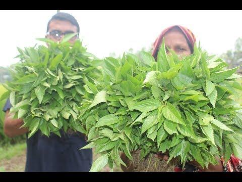 Village food  Farm fresh Jute leaves fry
