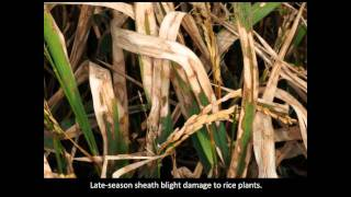Rice Diseases: Sheath Blight