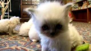 Cats 101: Himalayan