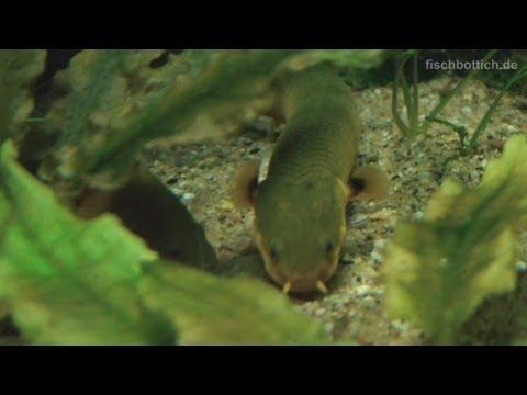 [HD] Cute Guys: Ropefish / Flösselaal @ Aquazoo [35/52]