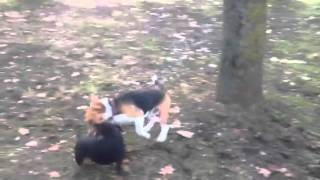 Miniature Pinscher Playing With The Beagle Dog