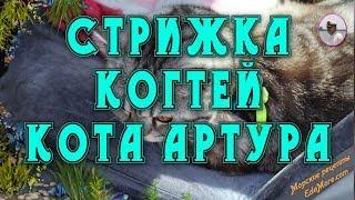 Стрижка когтей у кота Артура